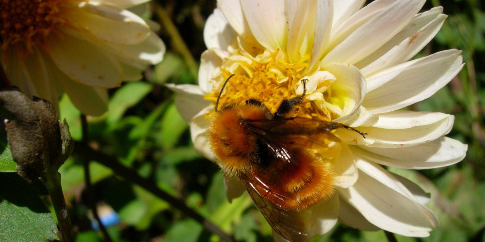 managed bees, parasites, bee health, Bombus dahlbomii