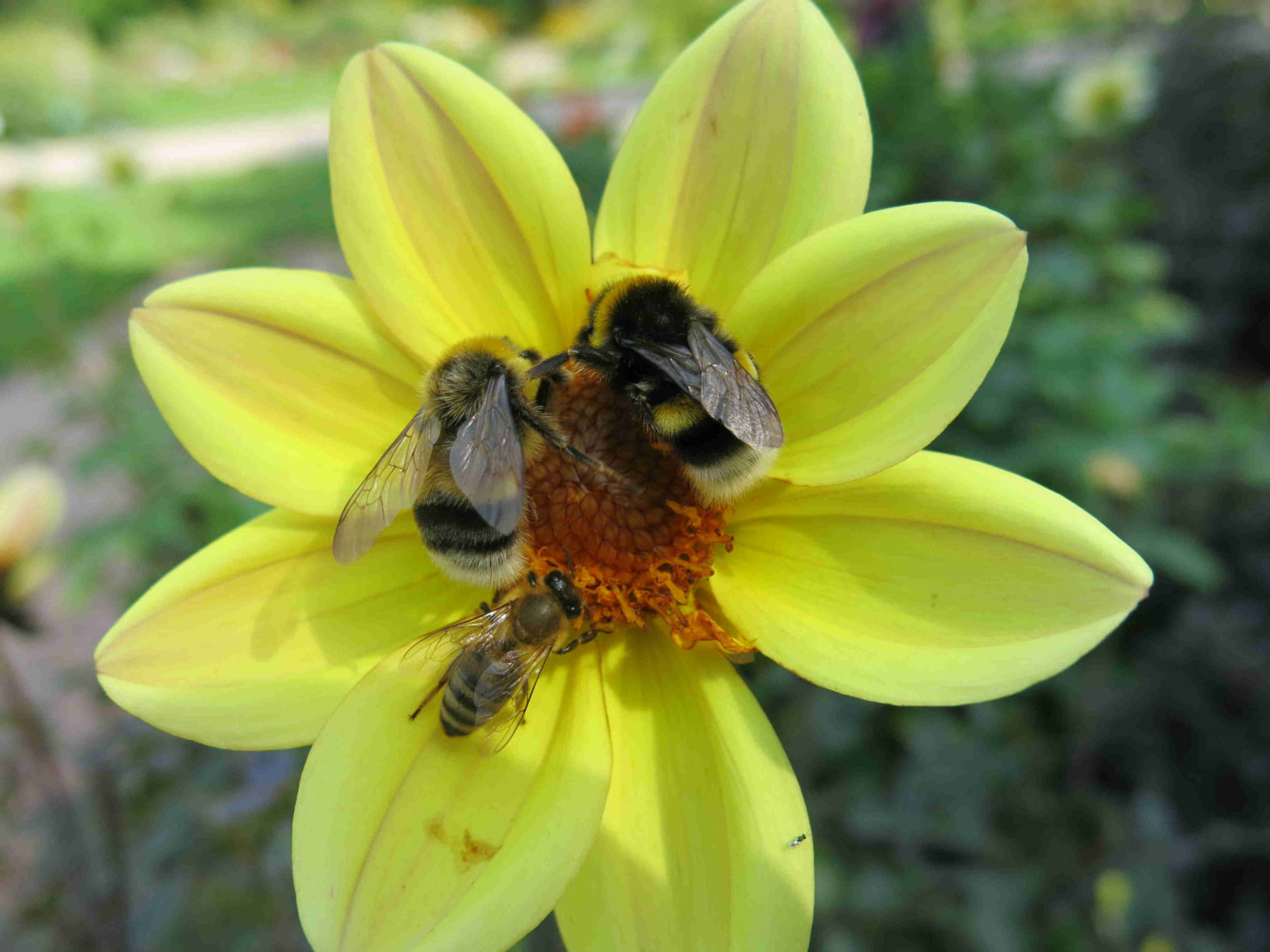 Managed bees, bee health, one health, bumblebees, honey bees