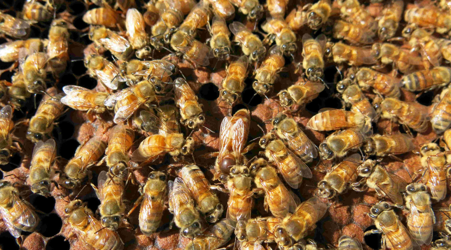 Superorganism, welfare, honey bee colony