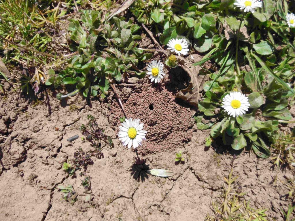 Bienen und Landwirtschaft, Bestäubung,  Solitärbienen