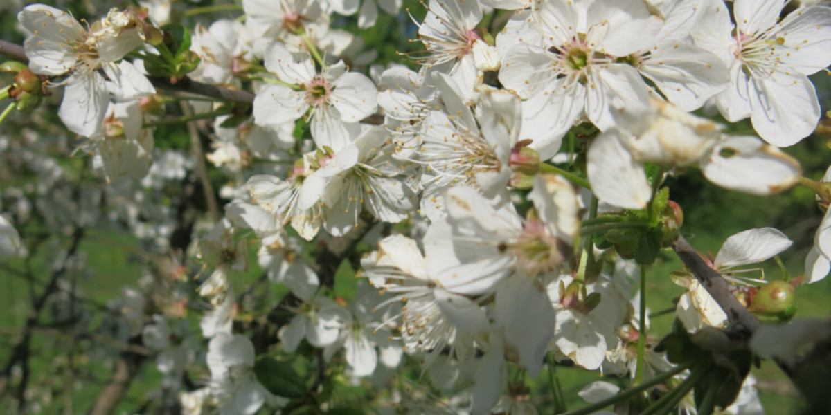bee research, sour cherry, pollination