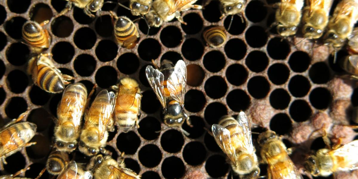 honey bee viruses, CBPV