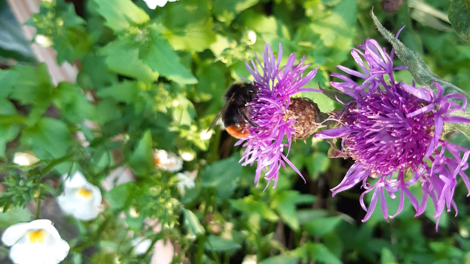 bee myths, bumblebees, males