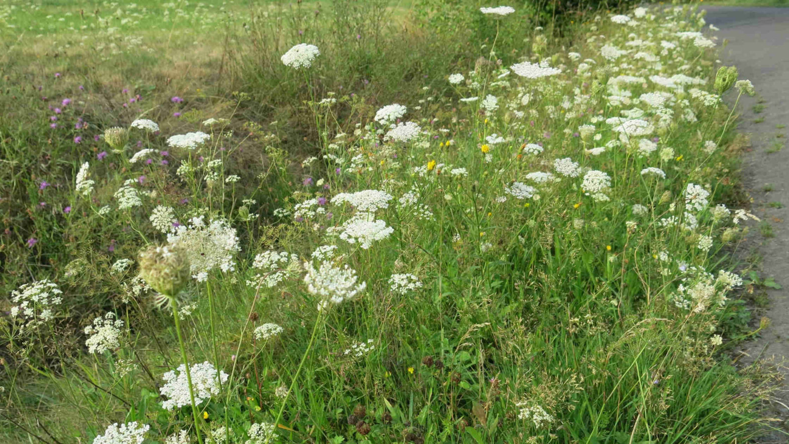 road verges, bee conservation