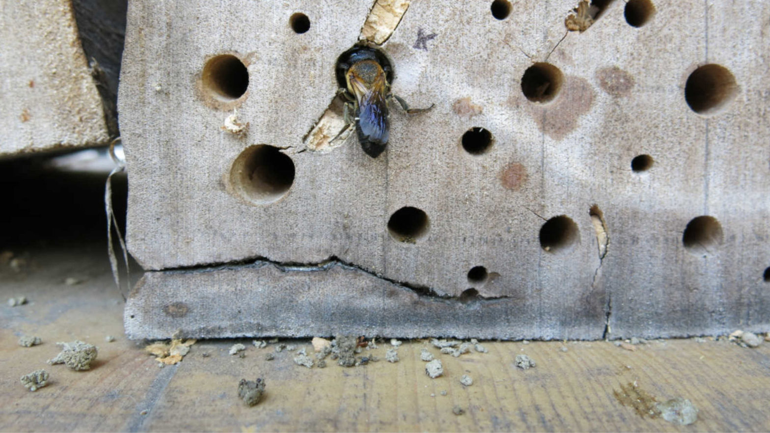 bee hotels, invasive bees, bee conservation