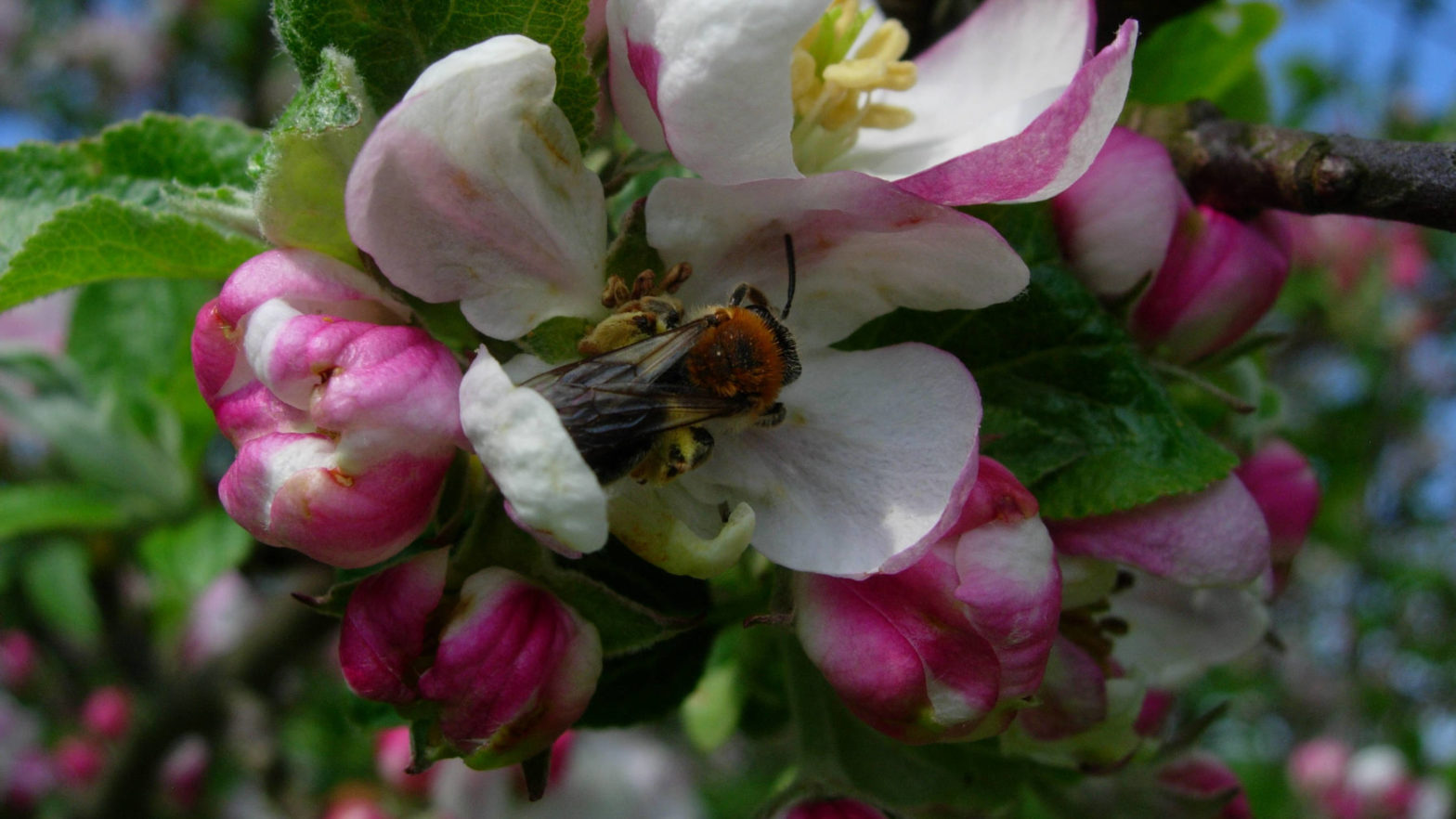pollinator limitation, crop production