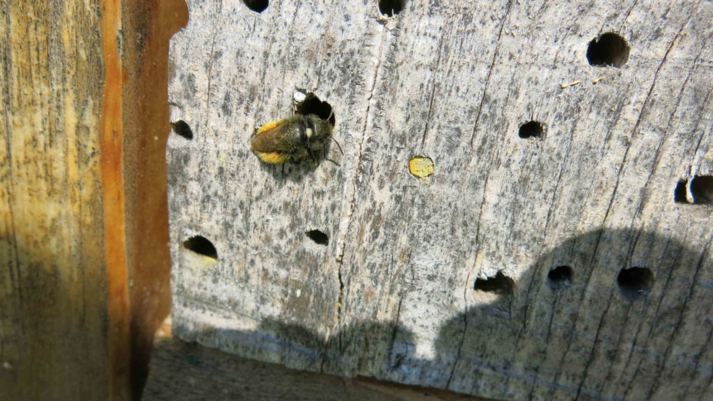 bee phenology, Osmia cornuta