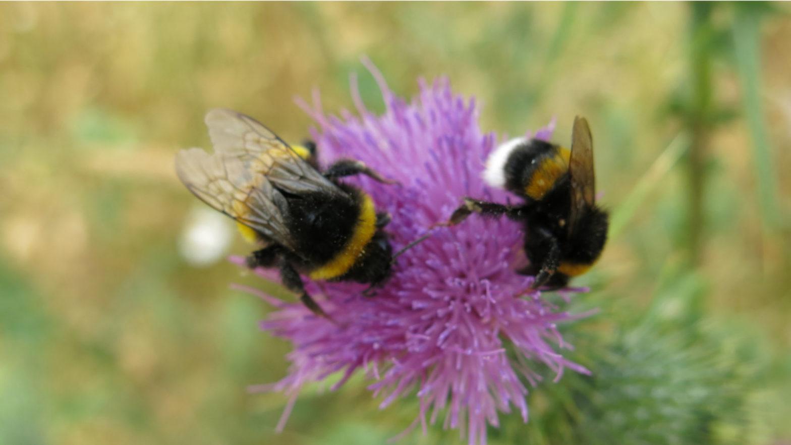 bumblebee ranges